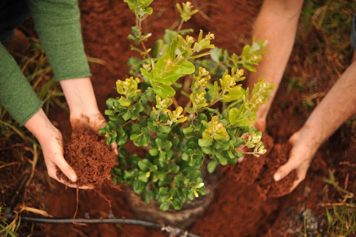 Sponsor a Tree Planting on Maui