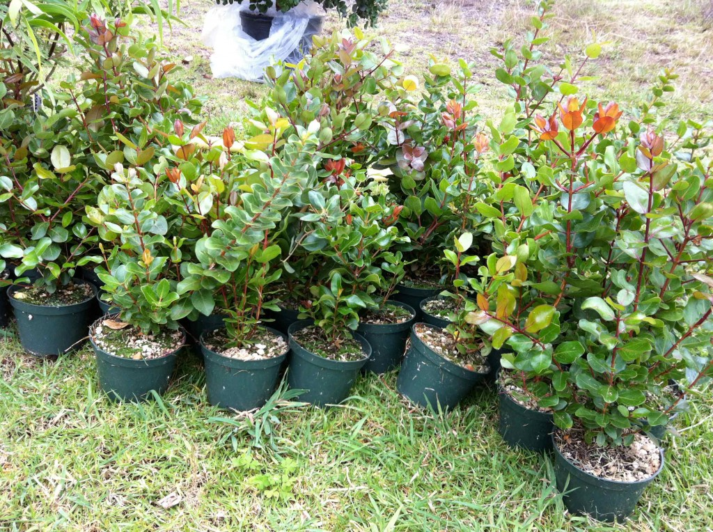 Second Annual Native Tree Plant Out - Plant a Wish - Hawaii