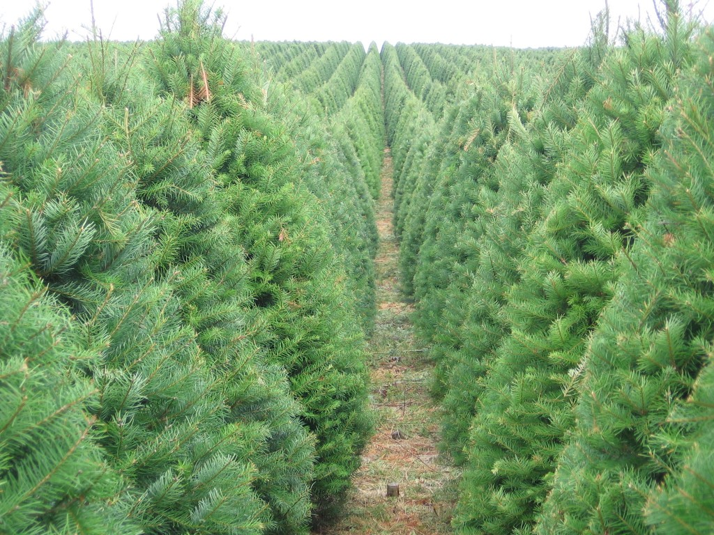 Nearly 200,000 trees like these, grown on a massive farm in Oregon, are shipped to Hawai'i for Christmas each year.