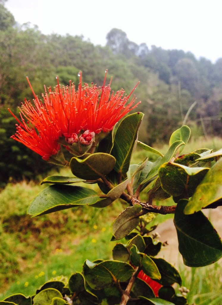 Ohia Lehua Blossom, Tree Planting on Maui by Plant a Wish